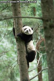 Panda juga bisa