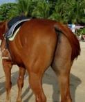 pantat kuda